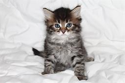 сибирская кошка котята фото